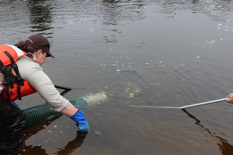 Worker with large hose stocking smolt, river is calm, hand holding a pole is seen on the right.