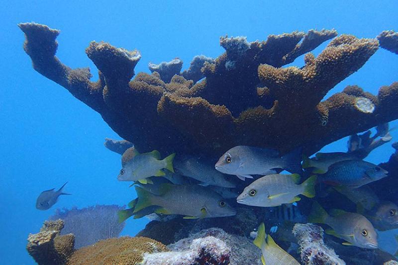 sombrero-reef-elkhorn-coral-NOAA and Jessica Levy_750x500.jpg