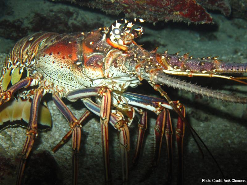 spiny_lobster_full.jpg