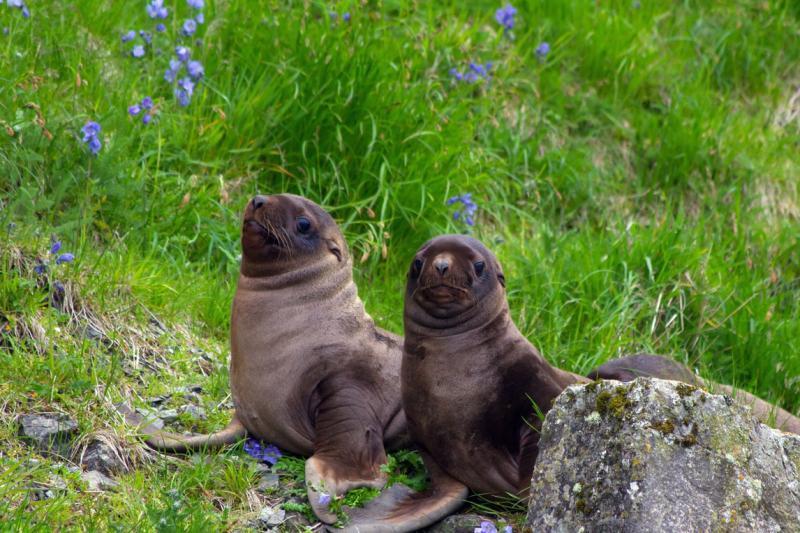 steller-sea-lion-pups-AFSC.jpg