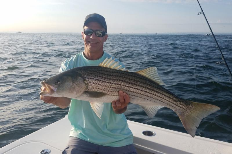 Striped bass being held by fisherman on boat.  Distinctive stripes along side of fish.