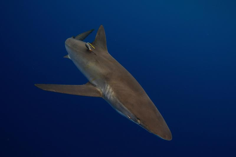 tagged oceanic whitetip shark.jpg