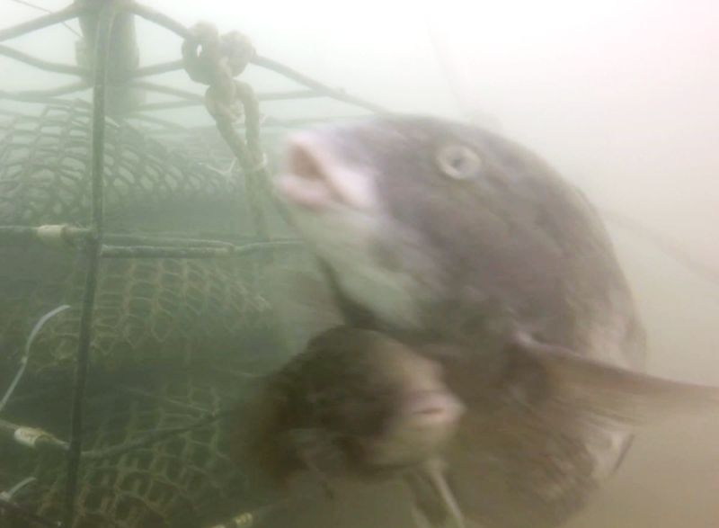 tautog-sneaker-male-aquaculture-cage.png
