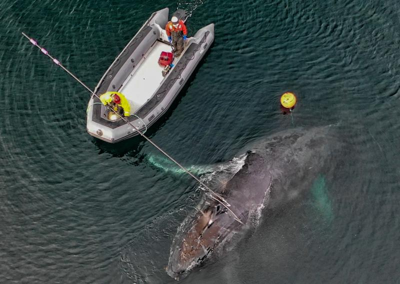 Team_Frees_Entangled_Whale-article.jpg
