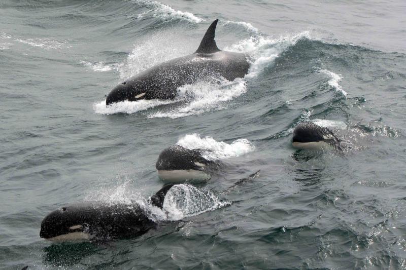 Type D_Jean-Pierre Sylvestre_BR-Orcinus orca-28112011-WSG-1340.jpg