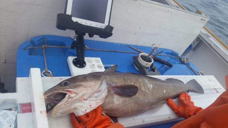 Electronic measuring board being used to size a white hake.